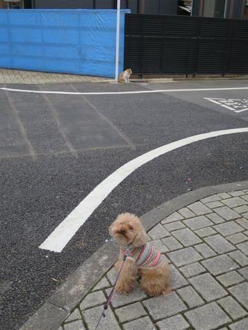 トイ・プードルトリミング文京区カットモデル犬関東トリミングサロン駒込フントヒュッテトイプードル画像トイプードルカットスタイルベアカットモデル15.jpg