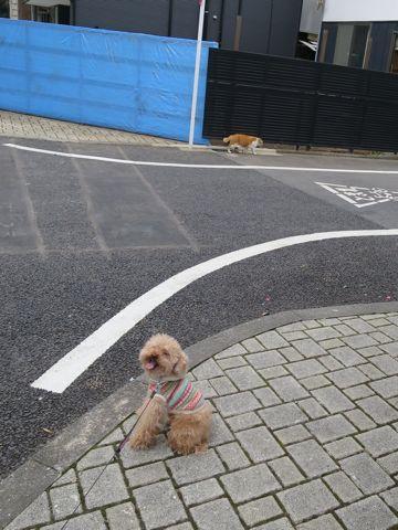 トイ・プードルトリミング文京区カットモデル犬関東トリミングサロン駒込フントヒュッテトイプードル画像トイプードルカットスタイルベアカットモデル16.jpg