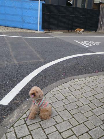 トイ・プードルトリミング文京区カットモデル犬関東トリミングサロン駒込フントヒュッテトイプードル画像トイプードルカットスタイルベアカットモデル17.jpg