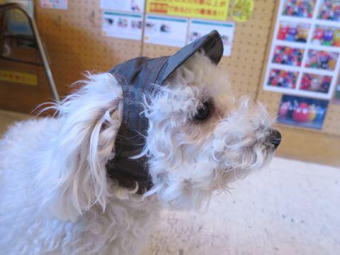 ビションフリーゼフントヒュッテ東京かわいいビション子犬関東こいぬ文京区ビションフリーゼ画像ビションフリーゼおんなのこメス子犬生まれてる都内Bichon Frise 633.jpg