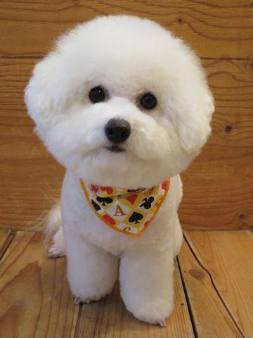 ビションフリーゼトリミング文京区フントヒュッテビショントリミング東京ビションフリーゼカットスタイルモデル犬ビションフリーゼ画像駒込子犬こいぬ49.jpg