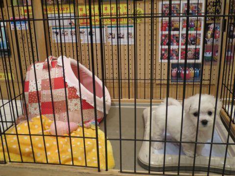 ビションフリーゼこいぬ東京子犬フントヒュッテ文京区かわいいビションフリーゼ駒込小さいビションフリーゼ画像おんなのこ飼い主募集ビションメス子犬里親募集 95.jpg