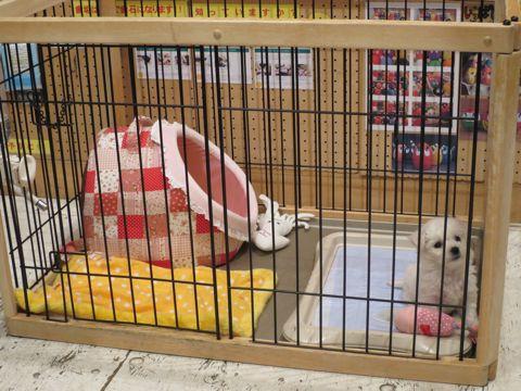 ビションフリーゼこいぬ東京子犬フントヒュッテ文京区かわいいビションフリーゼ駒込小さいビションフリーゼ画像おんなのこ飼い主募集ビションメス子犬里親募集 99.jpg