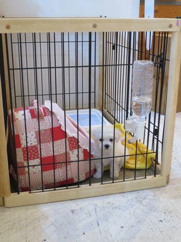 ビションフリーゼこいぬ東京子犬フントヒュッテ文京区かわいいビションフリーゼ駒込小さいビションフリーゼ画像おんなのこ飼い主募集ビションメス子犬里親募集 109.jpg
