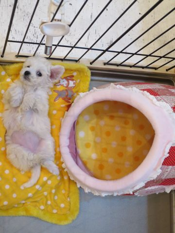 ビションフリーゼこいぬ東京子犬フントヒュッテ文京区かわいいビションフリーゼ駒込小さいビションフリーゼ画像おんなのこ飼い主募集ビションメス子犬里親募集 141.jpg