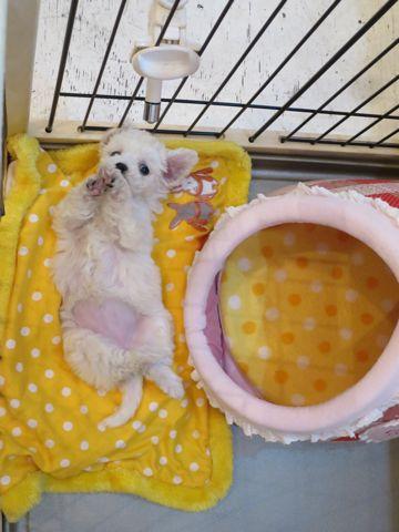 ビションフリーゼこいぬ東京子犬フントヒュッテ文京区かわいいビションフリーゼ駒込小さいビションフリーゼ画像おんなのこ飼い主募集ビションメス子犬里親募集 142.jpg
