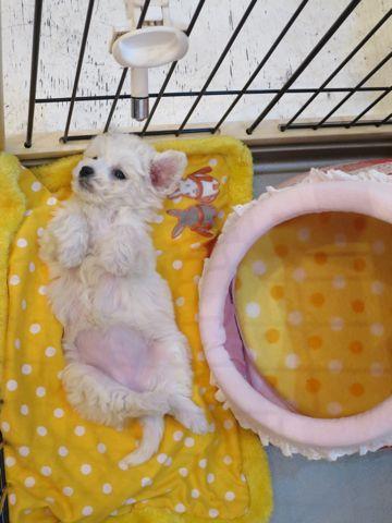 ビションフリーゼこいぬ東京子犬フントヒュッテ文京区かわいいビションフリーゼ駒込小さいビションフリーゼ画像おんなのこ飼い主募集ビションメス子犬里親募集 143.jpg