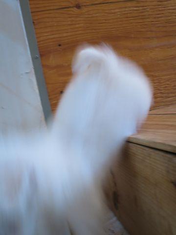 ビションフリーゼこいぬ東京子犬フントヒュッテ文京区かわいいビションフリーゼ駒込小さいビションフリーゼ画像おんなのこ飼い主募集ビションメス子犬里親募集 159.jpg