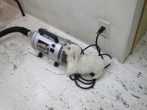 ビションフリーゼこいぬ東京子犬フントヒュッテ文京区かわいいビションフリーゼ駒込小さいビションフリーゼ画像おんなのこ飼い主募集ビションメス子犬里親募集 223.jpg
