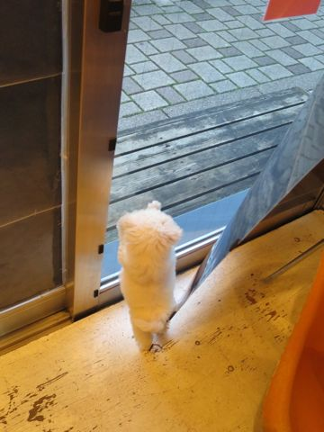ビションフリーゼこいぬ東京子犬フントヒュッテ文京区かわいいビションフリーゼ駒込小さいビションフリーゼ画像おんなのこ飼い主募集ビションメス子犬里親募集 224.jpg