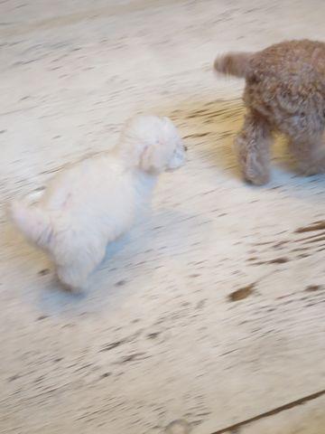 ビションフリーゼこいぬ東京子犬フントヒュッテ文京区かわいいビションフリーゼ駒込小さいビションフリーゼ画像おんなのこ飼い主募集ビションメス子犬里親募集 235.jpg