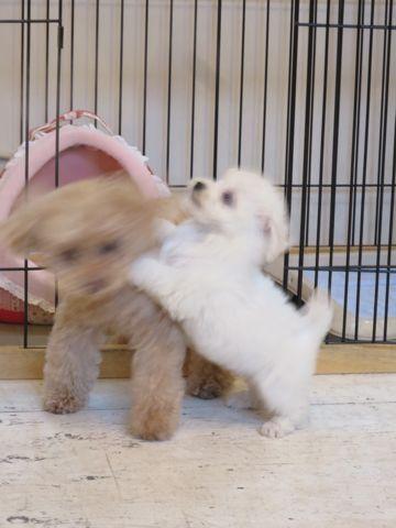 ビションフリーゼこいぬ東京子犬フントヒュッテ文京区かわいいビションフリーゼ駒込小さいビションフリーゼ画像おんなのこ飼い主募集ビションメス子犬里親募集 238.jpg