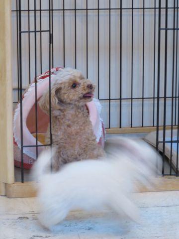 ビションフリーゼこいぬ東京子犬フントヒュッテ文京区かわいいビションフリーゼ駒込小さいビションフリーゼ画像おんなのこ飼い主募集ビションメス子犬里親募集 250.jpg
