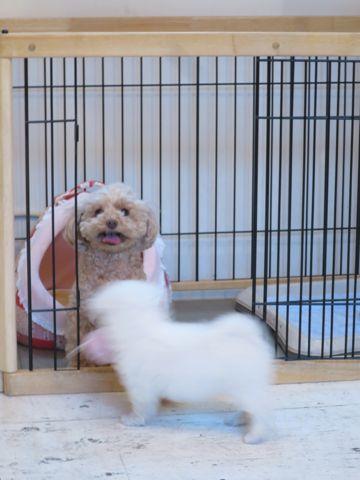 ビションフリーゼこいぬ東京子犬フントヒュッテ文京区かわいいビションフリーゼ駒込小さいビションフリーゼ画像おんなのこ飼い主募集ビションメス子犬里親募集 251.jpg