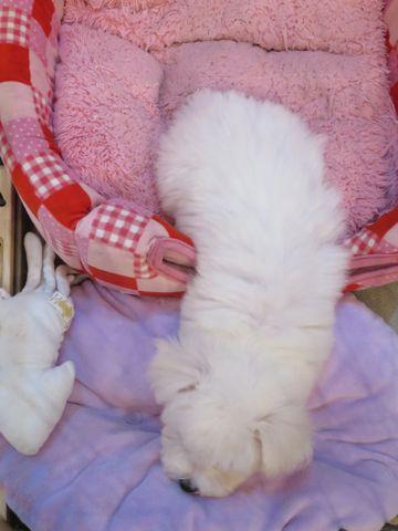 ビションフリーゼこいぬ東京子犬フントヒュッテ文京区かわいいビションフリーゼ駒込小さいビションフリーゼ画像おんなのこ飼い主募集ビションメス子犬里親募集 300.jpg