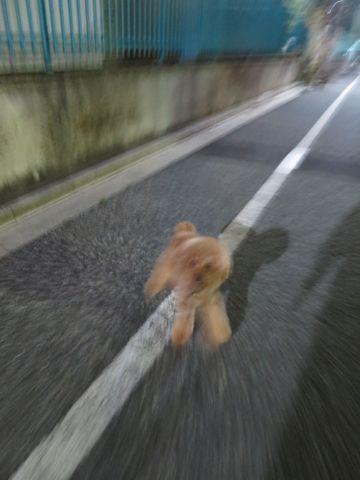 トイプードルトリミング駒込ペットホテル東京犬のおあずかり文京区フントヒュッテペットホテル料金都内ペットホテル様子おさんぽトイプートリミング画像23.jpg