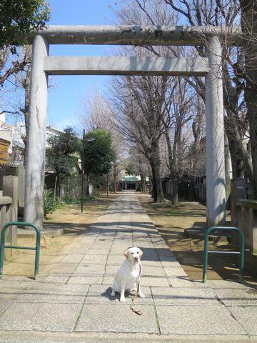 ラブラドール・レトリバートリミング文京区フントヒュッテ都内大型犬トリミング東京かわいいラブラドールレトリバー画像駒込ラブシャンプー関東大型犬画像32.jpg