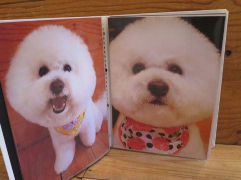 フントヒュッテトリミング画像DOGカットスタイルカタログ東京犬カットモデル都内ビションフリーゼカット画像トイプードルカットモデル文京区Lookbookルックブック_7.jpg
