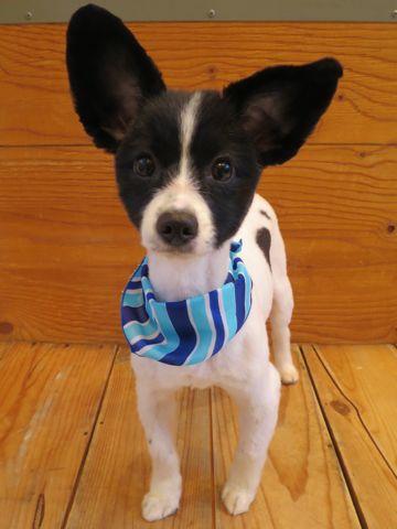 ミックス犬トリミング画像パピヨンサマーカットチワワ写真ミックス犬ツルツルカットフントヒュッテ東京チワワとパピヨンのミックス犬チワパピチワヨンパピワワ1.jpg