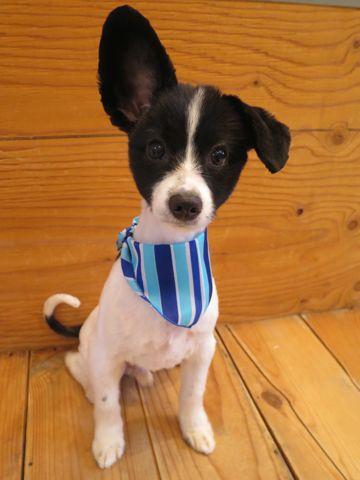 ミックス犬トリミング画像パピヨンサマーカットチワワ写真ミックス犬ツルツルカットフントヒュッテ東京チワワとパピヨンのミックス犬チワパピチワヨンパピワワ2.jpg