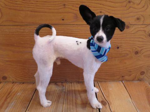 ミックス犬トリミング画像パピヨンサマーカットチワワ写真ミックス犬ツルツルカットフントヒュッテ東京チワワとパピヨンのミックス犬チワパピチワヨンパピワワ3.jpg