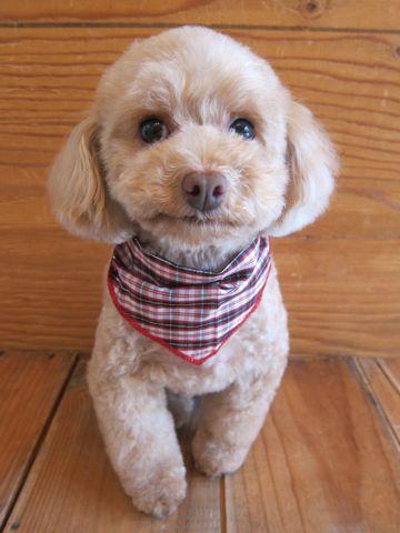 トイプードルトリミング文京区フントヒュッテ駒込テディベアカットトイプー東京かわいいトイプードル画像トイプードルカットモデル写真関東Toy Poodle1.jpg