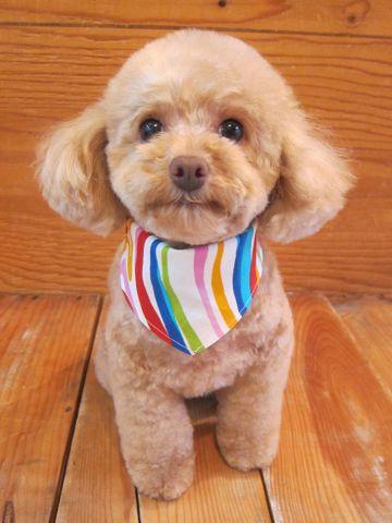 トイプードルトリミング文京区フントヒュッテ駒込テディベアカットトイプー東京かわいいトイプードル画像トイプードルカットモデル写真関東Toy Poodle3.jpg