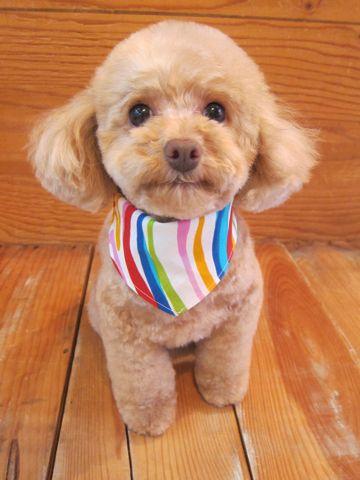 トイプードルトリミング文京区フントヒュッテ駒込テディベアカットトイプー東京かわいいトイプードル画像トイプードルカットモデル写真関東Toy Poodle4.jpg