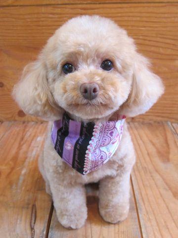 トイプードルトリミング文京区フントヒュッテ駒込テディベアカットトイプー東京かわいいトイプードル画像トイプードルカットモデル写真関東Toy Poodle8.jpg
