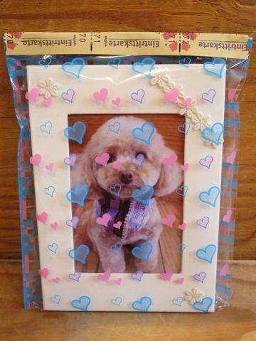 トイプードルトリミング文京区フントヒュッテ駒込テディベアカットトイプー東京かわいいトイプードル画像トイプードルカットモデル写真関東Toy Poodle15.jpg