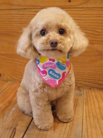 トイプードルトリミング文京区フントヒュッテ駒込テディベアカットトイプー東京かわいいトイプードル画像トイプードルカットモデル写真関東Toy Poodle19.jpg