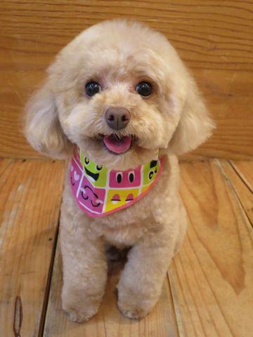 トイプードルトリミング文京区フントヒュッテ駒込テディベアカットトイプー東京かわいいトイプードル画像トイプードルカットモデル写真関東Toy Poodle21.jpg