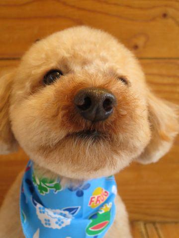 トイ・プードルトリミング文京区カットモデル犬関東トリミングサロン駒込フントヒュッテトイプードル画像トイプードルカットスタイルベアカットモデル25.jpg