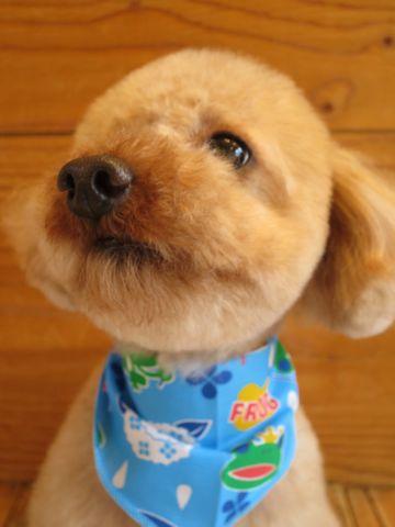 トイ・プードルトリミング文京区カットモデル犬関東トリミングサロン駒込フントヒュッテトイプードル画像トイプードルカットスタイルベアカットモデル26.jpg