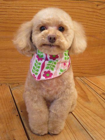 トイプードルトリミング文京区フントヒュッテ駒込テディベアカットトイプー東京かわいいトイプードル画像トイプードルカットモデル写真関東Toy Poodle25.jpg