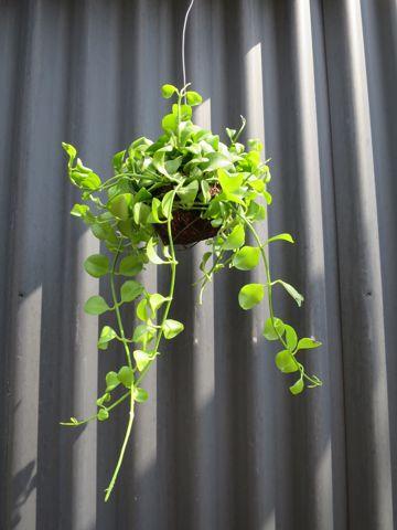 ディスキディア 種類 育て方 増やし方 観葉植物 吊り玉タイプ 日当たり 置き場所 水やり 肥料 かかりやすい病気 害虫 お手入れ 温度 気温 適温 湿度 2.jpg