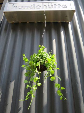 ディスキディア 種類 育て方 増やし方 観葉植物 吊り玉タイプ 日当たり 置き場所 水やり 肥料 かかりやすい病気 害虫 お手入れ 温度 気温 適温 湿度 3.jpg