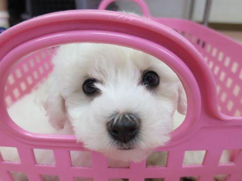 ビションフリーゼフントヒュッテビションフリーゼ子犬こいぬ父チャンピオン犬チャンピオン血統ビション子犬おんなのこ東京ビションフリーゼ画像性格かわいい_1.jpg