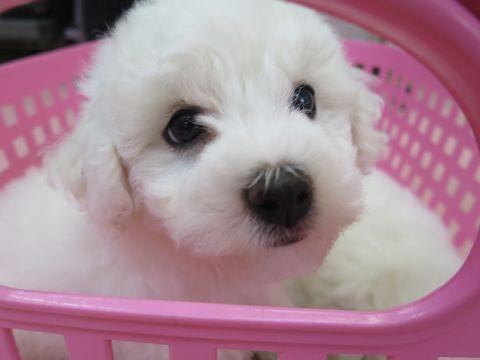 ビションフリーゼフントヒュッテビションフリーゼ子犬こいぬ父チャンピオン犬チャンピオン血統ビション子犬おんなのこ東京ビションフリーゼ画像性格かわいい_2.jpg