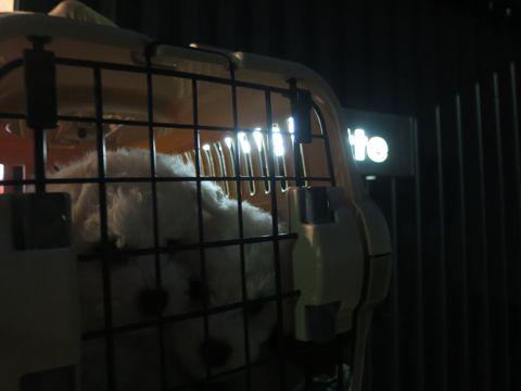 ビションフリーゼフントヒュッテビションフリーゼ子犬こいぬ父チャンピオン犬チャンピオン血統ビション子犬おんなのこ東京ビションフリーゼ画像性格かわいい_13.jpg