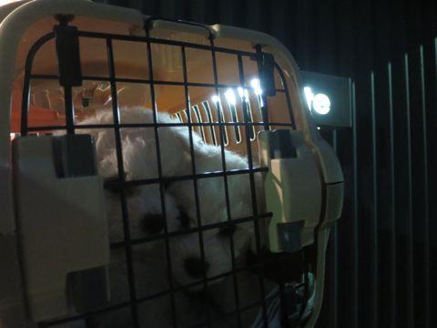 ビションフリーゼフントヒュッテビションフリーゼ子犬こいぬ父チャンピオン犬チャンピオン血統ビション子犬おんなのこ東京ビションフリーゼ画像性格かわいい_14.jpg