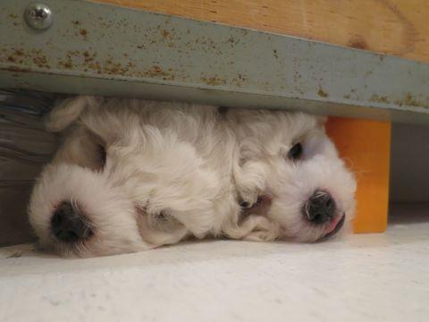 ビションフリーゼフントヒュッテビションフリーゼ子犬こいぬ父チャンピオン犬チャンピオン血統ビション子犬おんなのこ東京ビションフリーゼ画像性格かわいい_61.jpg