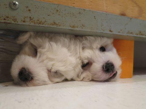 ビションフリーゼフントヒュッテビションフリーゼ子犬こいぬ父チャンピオン犬チャンピオン血統ビション子犬おんなのこ東京ビションフリーゼ画像性格かわいい_62.jpg