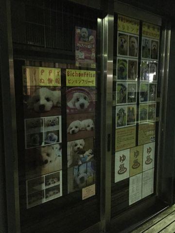 ビションフリーゼフントヒュッテビションフリーゼ子犬こいぬ父チャンピオン犬チャンピオン血統ビション子犬おんなのこ東京ビションフリーゼ画像性格かわいい_70.jpg