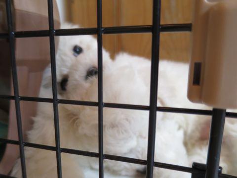 ビションフリーゼフントヒュッテビションフリーゼ子犬こいぬ父チャンピオン犬チャンピオン血統ビション子犬おんなのこ東京ビションフリーゼ画像性格かわいい_82.jpg
