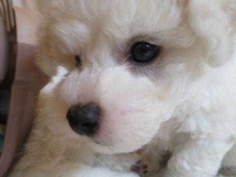 ビションフリーゼフントヒュッテビションフリーゼ子犬こいぬ父チャンピオン犬チャンピオン血統ビション子犬おんなのこ東京ビションフリーゼ画像性格かわいい_88.jpg
