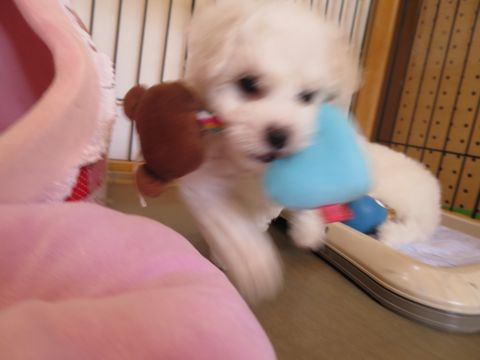 ビションフリーゼフントヒュッテビションフリーゼ子犬こいぬ父チャンピオン犬チャンピオン血統ビション子犬おんなのこ東京ビションフリーゼ画像性格かわいい_92.jpg