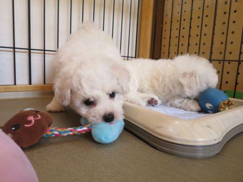 ビションフリーゼフントヒュッテビションフリーゼ子犬こいぬ父チャンピオン犬チャンピオン血統ビション子犬おんなのこ東京ビションフリーゼ画像性格かわいい_98.jpg