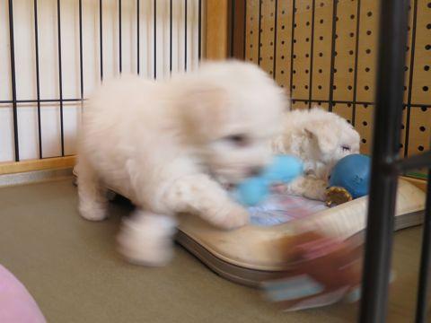 ビションフリーゼフントヒュッテビションフリーゼ子犬こいぬ父チャンピオン犬チャンピオン血統ビション子犬おんなのこ東京ビションフリーゼ画像性格かわいい_102.jpg
