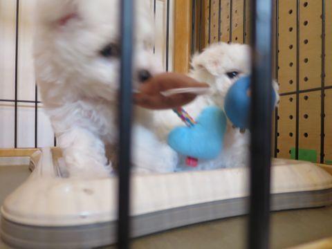 ビションフリーゼフントヒュッテビションフリーゼ子犬こいぬ父チャンピオン犬チャンピオン血統ビション子犬おんなのこ東京ビションフリーゼ画像性格かわいい_103.jpg